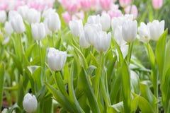 Tulipa Ramalhete bonito dos tulips Fotos de Stock