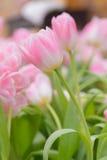 Tulipa Ramalhete bonito dos tulips Foto de Stock Royalty Free