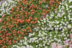 Tulipa Ramalhete bonito dos tulips Fotografia de Stock Royalty Free