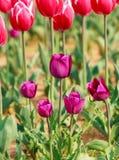 Tulipa Ramalhete bonito dos tulips Fotos de Stock Royalty Free