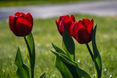 Tulipa, República Checa Fotografia de Stock