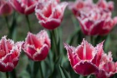 Tulipa, República Checa Foto de Stock Royalty Free