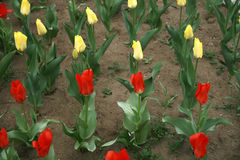 Tulipa in the row. Red and yellow tulipa in the garden royalty free stock images