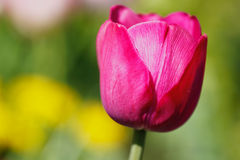 Tulipa roxa Imagens de Stock