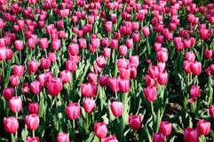 Tulipa roxa Fotografia de Stock Royalty Free