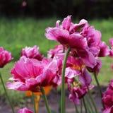 Tulipa roxa da peônia em um fundo verde Tulipa com as raias nas folhas Tulipa da flor após a chuva no jardim Imagens de Stock Royalty Free