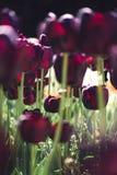 Tulipa roxa escura em um fundo abstrato das tulipas imagem de stock