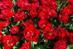 Tulipa Scharlaken Verona Stock Afbeeldingen