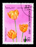 Tulipa (Tulipa sp ), tulipanu seria około 1997, Obrazy Stock