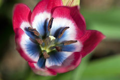 Tulipa speciosus. Closeup of details of colourful red white and blue species tulip against blurred green background Stock Photos