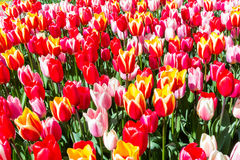 Tulipa Spring Surprise Stock Photos