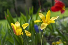 Tulipa stellata chrysantha in bloom, flowering golden lady tulips. Ornamental small tulipas stock photo