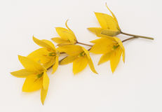 Tulipa sylvestris bouquet of yellow flowers Stock Image