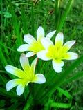 Tulipa tarda weiße und gelbe der Hintergrundtapeten-schönen Kunst der wilden Blumen Drucke stockbilder