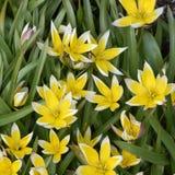 Tulipa tarda. Wild tulip Tulipa tarda flowering in spring Royalty Free Stock Images