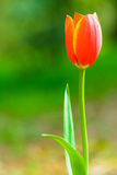 Tulipa. Tulip is the national flower of the Netherlands and Turkey Royalty Free Stock Photos