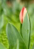 Tulipa. Tulip is the national flower of the Netherlands and Turkey Royalty Free Stock Photography
