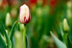 Tulipa Stock Photos