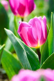 Tulipa. Tulip is the national flower of the Netherlands and Turkey Stock Photography