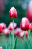 Tulipa Stock Images