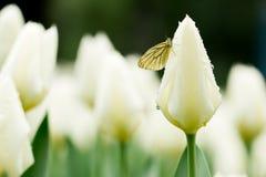 Tulipa Royalty Free Stock Photo