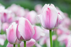 Tulipa. Tulip is the national flower of the Netherlands and Turkey Stock Photos