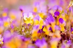 Tulipa Royalty Free Stock Images