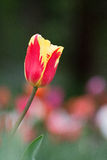 Tulipa. Tulip is the national flower of the Netherlands and Turkey Stock Image