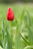 Tulipa. Tulip is the national flower of the Netherlands and Turkey Royalty Free Stock Images