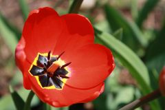 Tulipa, Tulip, Red full bloom tulip. Beautiful red tulip bloom; catching the full sunlight on an early spring day Royalty Free Stock Photo
