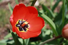 Tulipa, Tulip, Red full bloom tulip. Beautiful red tulip bloom; catching the full sunlight on an early spring day Royalty Free Stock Image