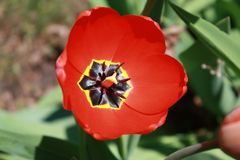 Tulipa, Tulip, Red full bloom tulip. Beautiful red tulip bloom; catching the full sunlight on an early spring day Royalty Free Stock Photos