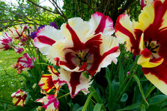 Tulipa.  Tulipa is a genus that includes about 100 species of Liliaceae family Stock Images