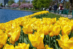 Tulipa. Tulips with blurred city background on sunny day Stock Image