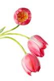 Tulipa, Tulp royalty-vrije stock afbeeldingen