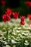 Tulipa turca Fotografia de Stock Royalty Free