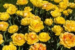 Tulipa Vaya-Betrug Dios Lizenzfreies Stockbild