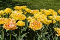 Tulipa Vaya Con Dios Royalty Free Stock Photography