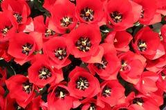 Tulipa vermelha Fotos de Stock