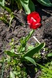 Tulipa vermelha Foto de Stock