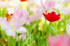 Tulipa vermelha Imagens de Stock