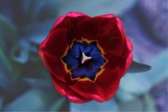 Tulipa vermelha Imagem de Stock