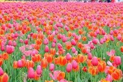 Tulipa vermelha bonita e elegante ap?s a chuva foto de stock royalty free