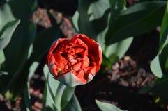 Tulipa vermelha bonita no fundo da terra foto de stock