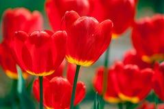 A tulipa vermelha brilhante floresce o fundo fotos de stock