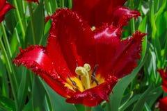 Tulipa vermelha brotada com franja Fotografia de Stock Royalty Free