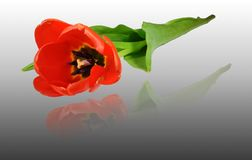 Tulipa vermelha, close up, arranjo diagonal Foto de Stock Royalty Free