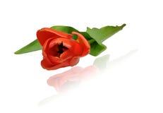 Tulipa vermelha, close up, arranjo diagonal Imagem de Stock