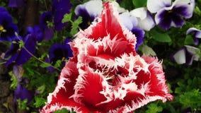 Tulipa vermelha com bordas irregulares e violetas azuis fotos de stock royalty free