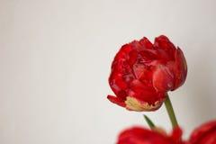 Tulipa vermelha do jardim Fotografia de Stock Royalty Free
